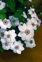 Clematis Miss Bateman, white flowered climbing perennial vine