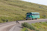 Wolf of the Grant Creek pack walks along the Denali Park road with a Tour bus full of visitors watching, Denali National Park, Interior, Alaska.
