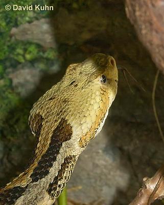 1211-1004  Timber Rattlesnake Flicking Tongue (Canebrake Rattlesnake), Crotalus horridus  © David Kuhn/Dwight Kuhn Photography