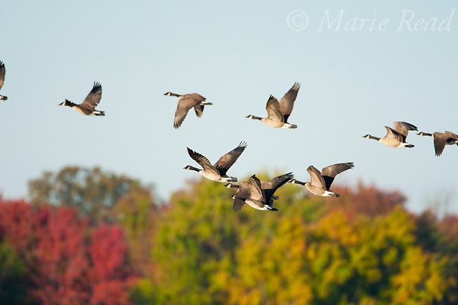 Canada Geese (Branta canadensis), flock in flight against background of autumn colors, Montezuma National Wildlife Refuge, New York, USA