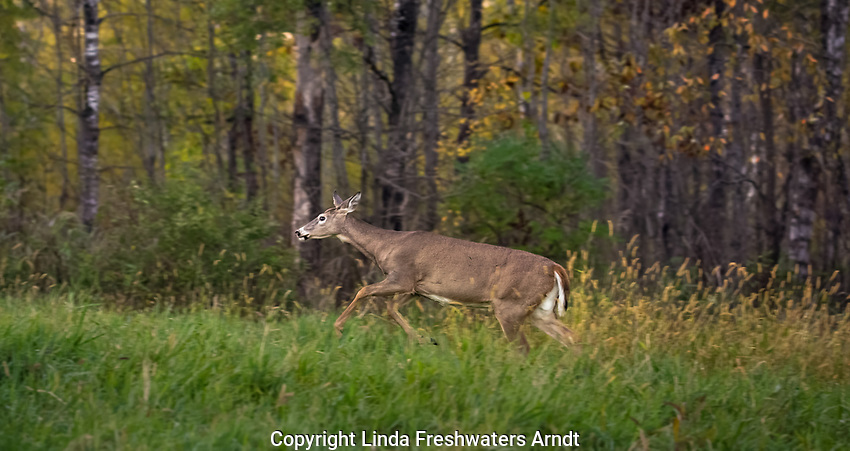White-tailed doe running in an autumn meadow.