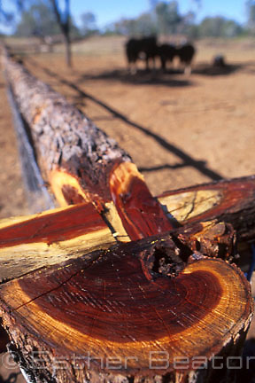Gidgee (Acacia cambadgei) used to make traditional fence rails. Prize bulls in paddock, Lambert Station, near Blackall, Queensland