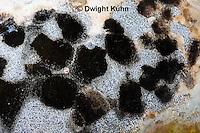 DC09-651z  Black Mold (Aspergillus Fungi) growing on pumpkin, Aspergillus spp.