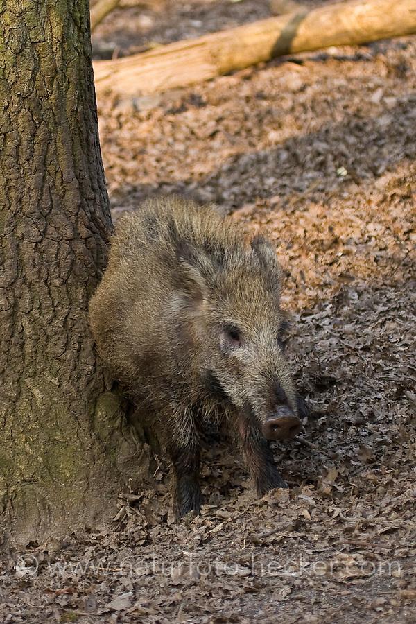 Wildschwein, Wild-Schwein, Schwarzwild, schubbert sich an Mal-Baum, Malbaum, Sus scrofa, wild boar, pig