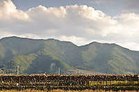 Vineyards in Katsunuma, Yamanashi Prefecture, Japan, October 12, 2009.