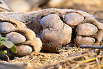 Paw pads of a tiger, Ranthambore National Park, India