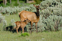 Rocky Mountain Elk (Cervus canadensis nelsoni)--cow with young calf.  Northern Rockies, June.