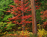 Rogue River National Forest, OR:  Western Flowering Dogwood (Cornus nuttallii) in fall color and weathered trunk at the forest margin on the upper Rogue River