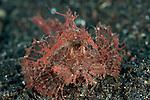 Ambon scorpionfish (Pteroidichthys amboinensis).