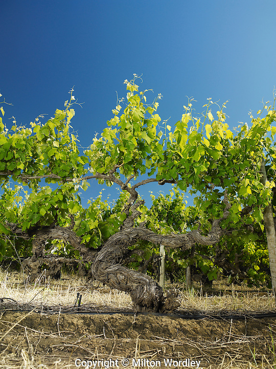 100 year old vines at Saltram's Metala vineyard, Langhorne Creek