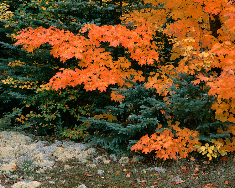 Maple trees in fall color; Pictured Rocks National Lakeshore, MI
