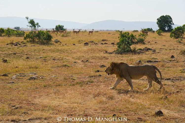 An impala herd watch a male lion closely as he crosses the Maasai Mara plain in Kenya.