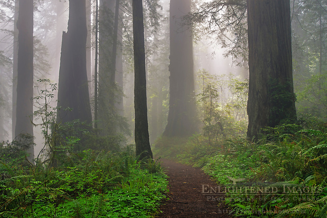 Damnation Creek Trail, Redwood forest and fog, Del Norte Redwoods State Park, Redwood National and State Parks, California