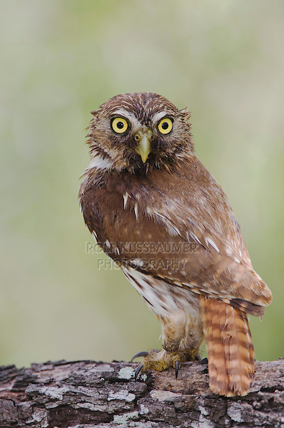 Ferruginous Pygmy-Owl, Glaucidium brasilianum, adult, Willacy County, Rio Grande Valley, Texas, USA, June 2006