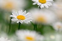 Oxeye Daisy, Chrysanthemum leucanthemum, Louisville, Kentucky
