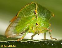 1109-0815  Buffalo Treehopper, Ceresa alta © David Kuhn/Dwight Kuhn Photography.