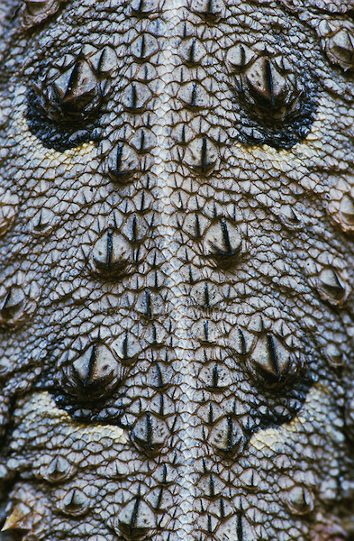 Texas Horned Lizard, Phrynosoma cornutum, adult back skin, Starr County, Rio Grande Valley, Texas, USA, May 2002