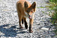 A red fox kit walks along a path in Alaska's McNeil River State Game Sanctuary.