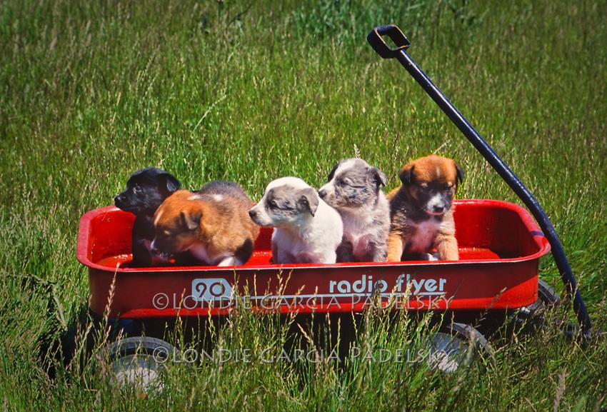 Litter of Australian Shepherd Puppies, San Luis Obispo, California