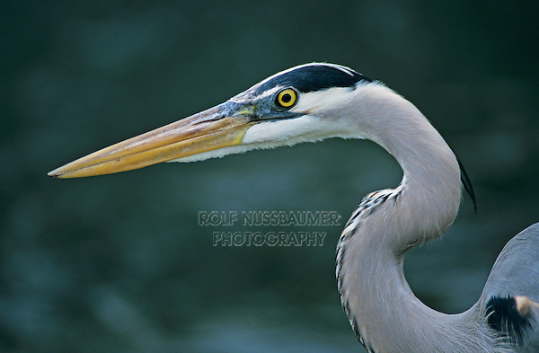 Great Blue Heron, Ardea herodias,immature, New Braunfels, Texas, USA, April 2001