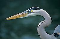Great Blue Heron, Ardea herodias,immature, New Braunfels, Texas, USA, April 2001