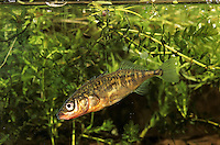 Dreistacheliger Stichling, Dreistachliger Stichling, Gasterosteus aculeatus, three-spined stickleback