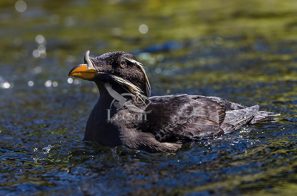 Rhinoceros Auklet or rhinoceros puffin (Cerorhinca monocerata).  Seabird.  Close relative of puffins.  Oregon Coast.