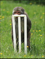 BNPS.co.uk (01202 558833)<br /> Pic: IanTurner/BNPS<br /> <br /> Taking guard...<br /> <br /> Lets hope the umpiring of this summers Ashes is a little better than was displayed by the infamous Longleat monkeys yesterday as they prepared for the upcoming battle with a little bit of Ape Ashes.<br /> <br /> Despite managing to set up the stumps the perplexed primates were soon clean bowled - but at least it gave visitors to the Wiltshire attraction some respite from the usual mayhem the parks Rhesus Macaques dish out to their cars.