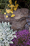"drought tolerant plantings along the hillside garden and pathway include Thyms coccineus ""red creeping thyme,"" Achillea ""moonshine"" yarrow and Stachys byantia helen von stein. ""Lamb's ears"""