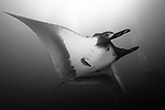 El Canon dive site, San Benedicto Island, Revillagigedos Islands, Mexico; Manta Ray (Manta birostris) and scuba divers