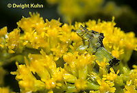 AM03-001b   Ambush Bug on goldenrod - Phymata americana