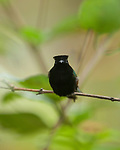 Perched - Black-bellied Hummingbirds