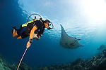 A diver watches Manta Rays, Manta birostris, Mi'il Channel, Yap, Micronesia, Pacific Ocean (MR)