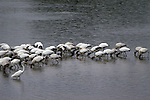 A lone great egret sits out bad weather with a flock of woodstorks.