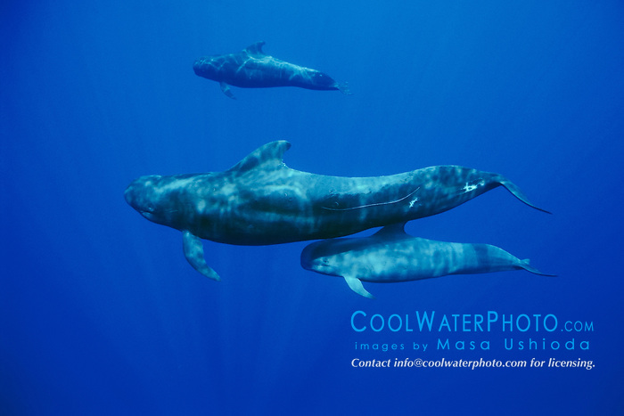 short-finned pilot whales, Globicephala macrorhynchus, mother and calf, Kona Coast, Big Island, Hawaii, USA, Pacific Ocean