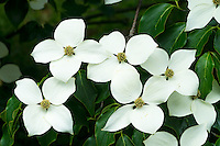 Korean Dogwood Blossoms