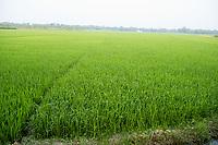 Bangladesh, Jhenaidah. Rice fields.