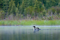 Common Loons (Gavia immer)--adult with chick riding on back.  Northern North America, Summer.  Sometimes also called Great Northern Loon or Diver.