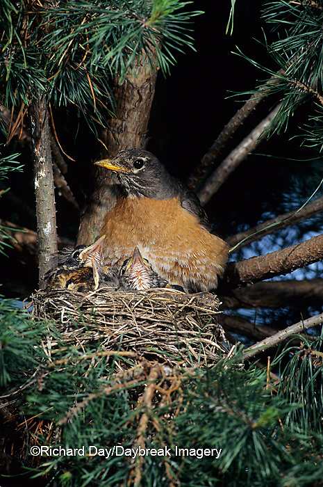 01382-00706 American Robin (Turdus migratorius) brooding nestlings in white pine tree. Marion Co.   IL