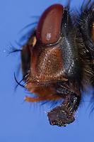 Blaue Schmeissfliege, Schmeißfliege, Portarit mit Auge, Komplexauge, Facettenauge und leckend-saugende Mundwerkzeug, Mundwerkzeuge, stempelartiger Tupfrüssel, Blaue Fleischfliege, Brummer, Calliphora vicina, blowfly, bluebottles, bluebottle blowfly, bluebottle, Schmeißfliegen, Calliphoridae, blowflies