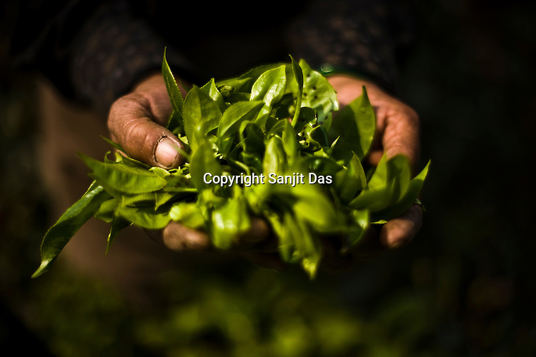 A tea picker shows the first flush leaves at the Makaibari Tea estate, in Darjeeling, India.