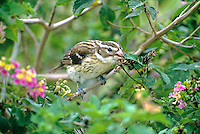 538740052 a wild female rose-breasted grosbeak pheucticus ludivicianus feeds on berries from a texas lantana plant on south padre island off the coast of texas