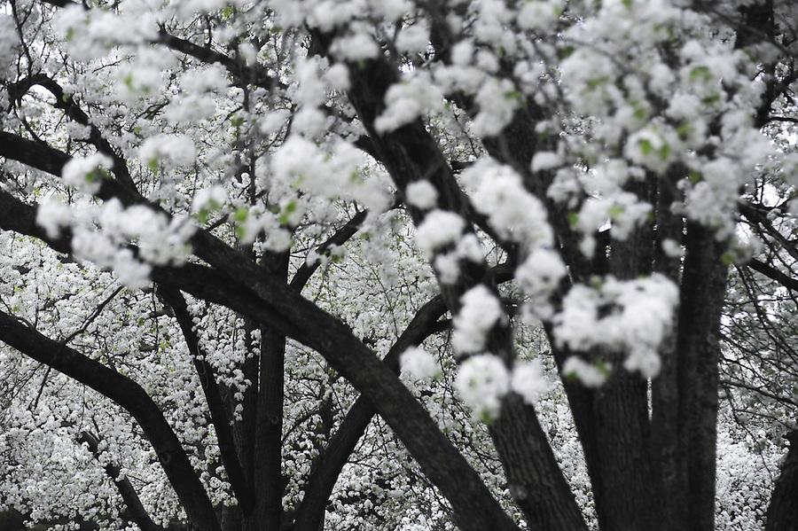March 23, 2012 copyright JimMendenhallPhotos.com 2012  on Cedar Blvd. ornamental fruit trees