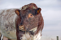 Close up of a Beef Shorthorn bull, North Yorkshire, England.