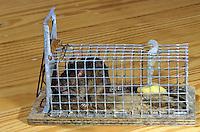 Hausmaus, Haus-Maus, Maus, mit einer Lebendfalle gefangen, Falle, Mausefalle, Mus musculus, house mouse