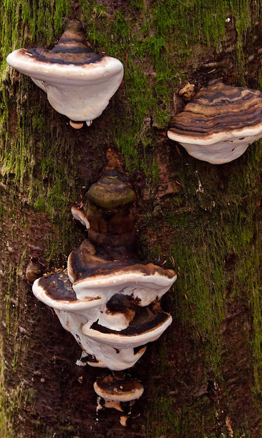 Mushrooms on Tree in the Forest, Tiger Mountain, Issaquah, Washington, US
