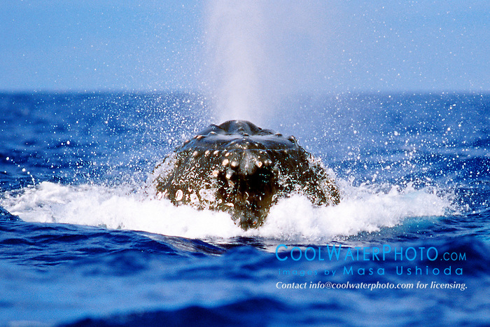 female humpback whale, lunging toward .boat to escape from competing males, .Megaptera novaeangliae, .Hawaii (Pacific)