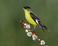 Lesser Goldfinch - Carduelis psaltria - male