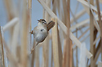 Marsh wren singing in bulrushes of a marsh.