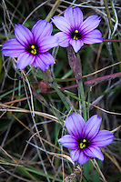 Unidentified purple wildflowers along the footpath at Bean Hollow State Beach on California's coast.